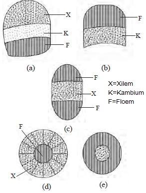 Struktur Fungsi Batang Dikotil Monokotil Abdul Latif